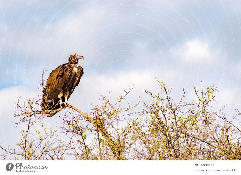 Geierfresser stellte an der Spitze einer Akazie auf Natur Tier Himmel Wolken Vogel Schmetterling fliegen dunkel braun schwarz weiß Afrika Kenia Maassai Mara