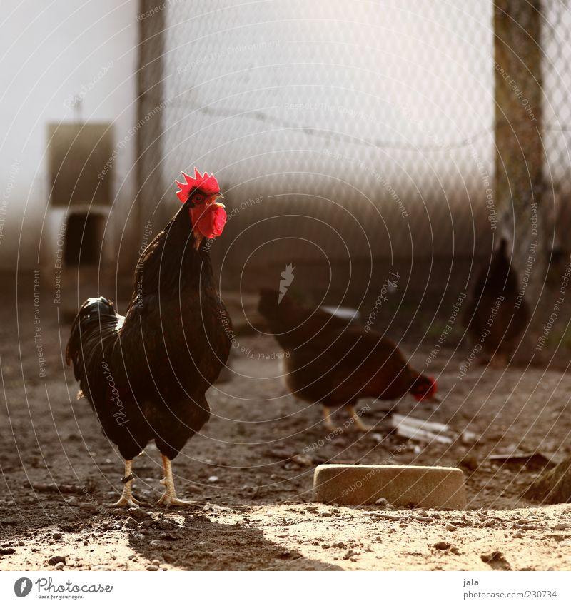 neues aus uhlenbusch Tier stehen Flügel Tiergruppe Tiergesicht Zaun Nutztier Tierporträt Stall Krähe Hahn gefiedert Hühnervögel Maschendrahtzaun Hühnerstall