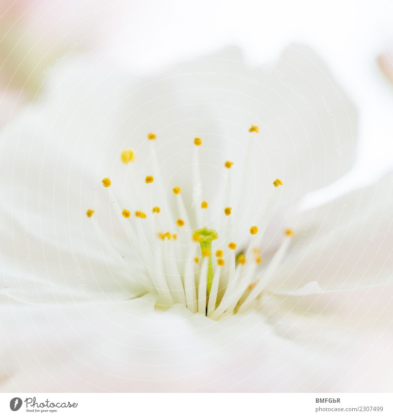 Frühlingserwachen Umwelt Natur Pflanze Blume Blüte ästhetisch Duft frisch hell natürlich positiv weiß Frühlingsgefühle Beginn Zufriedenheit rein schön
