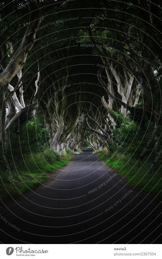 Die dunklen Hecken in Nordirland (Dark Hedges) Umwelt Natur Landschaft Frühling Pflanze Baum Gras Sträucher Blatt Grünpflanze Garten Park Wald Gefühle