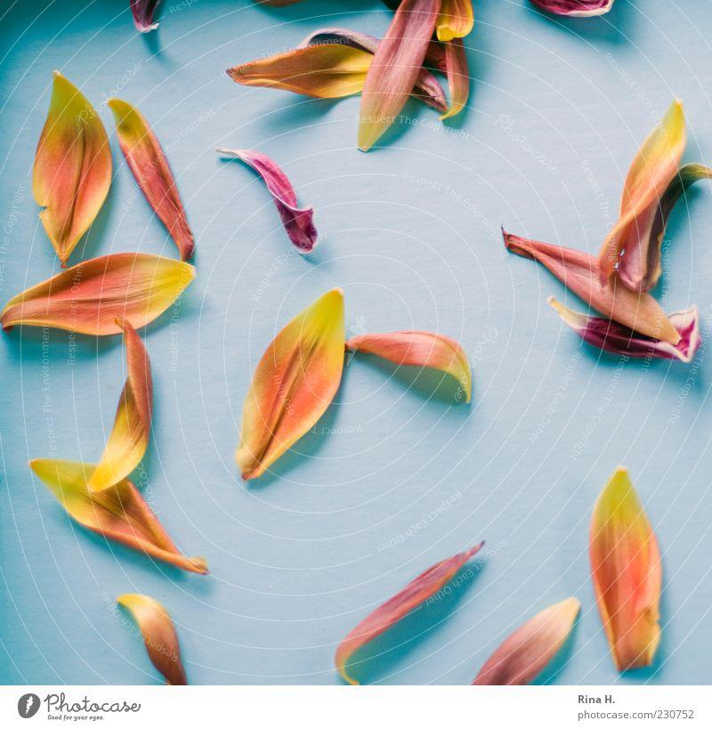TulpenBlätter blau Blatt gelb hell gold Vergänglichkeit vertrocknet welk verblüht Blütenblatt Licht Blume Vogelperspektive Tulpenblüte