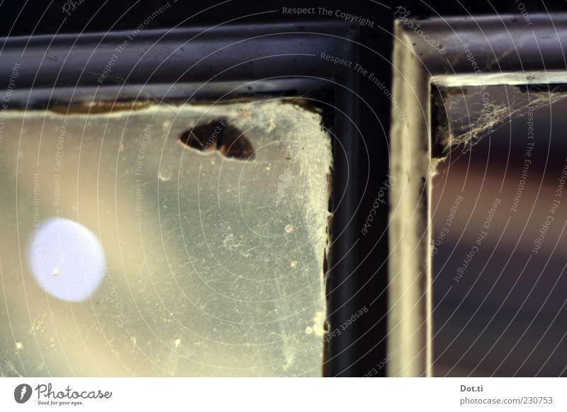 Laubenkolonist Fenster Schmetterling 1 Tier dunkel Fensterscheibe Fensterkreuz Spinngewebe verfallen alt trüb Rahmen Versteck Farbfoto Gedeckte Farben