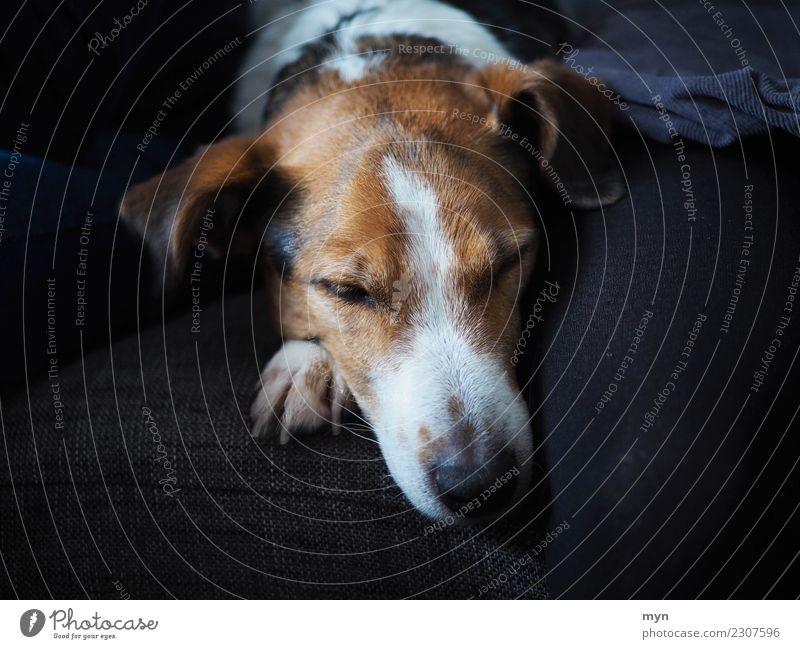 Müder Hund Zufriedenheit Erholung Tier Haustier Tiergesicht Fell Pfote 1 liegen schlafen träumen warten Glück schwarz Schutz Geborgenheit Warmherzigkeit