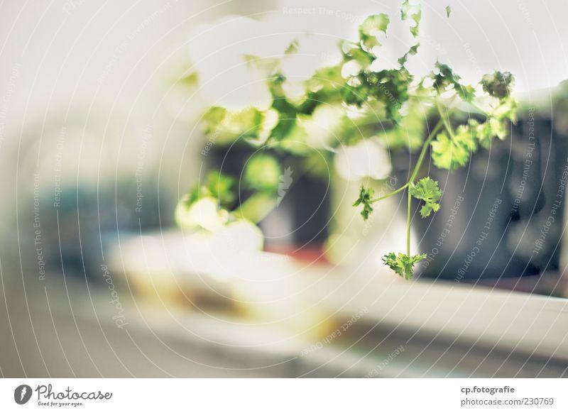 indoor_growing Pflanze Blatt frisch weich Kräuter & Gewürze Grünpflanze Fensterbrett Topfpflanze Nutzpflanze Petersilie