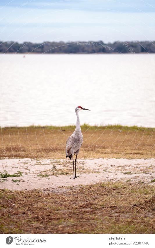 Sandhill-Kranichvogel Grus canadensis sucht nach Natur Tier Wasser Gras Park Seeufer Flussufer Teich rothaarig Wildtier Vogel 1 fliegen blau Sandbergkran