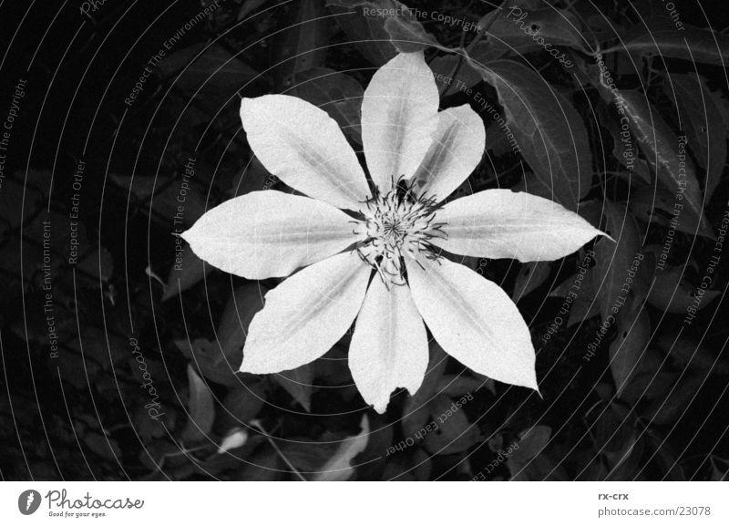 Flower Pflanze Blüte schwarz weiß offen Garten