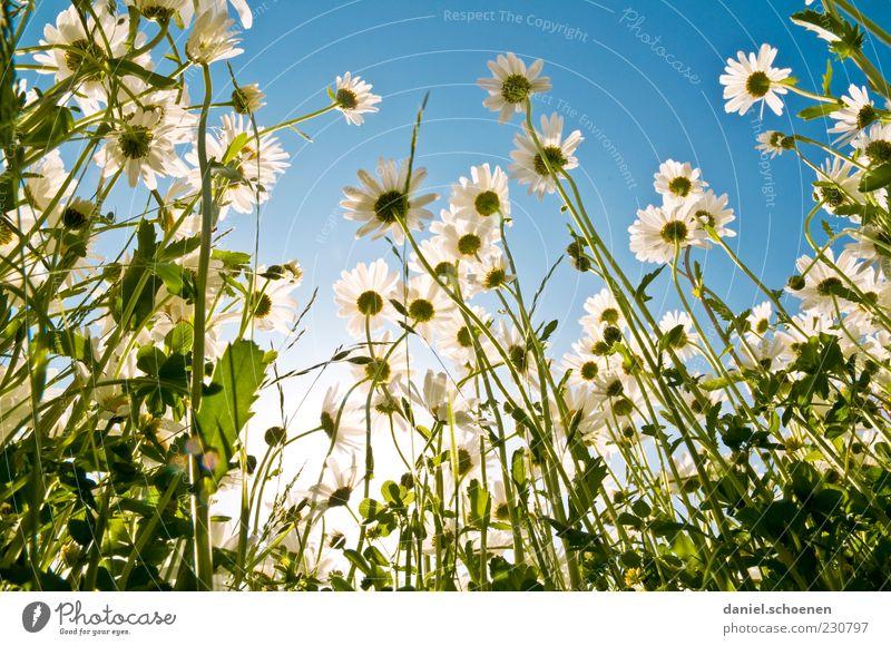 Riesengänseblümchen Umwelt Natur Pflanze Himmel Wolkenloser Himmel Frühling Sommer Schönes Wetter Blatt Blüte Wiese blau grün weiß Margerite Blume Blumenwiese