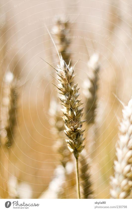 Landliebe Essen Feld Gesunde Ernährung Kochen & Garen & Backen Ernte Brot Ackerbau reif Brötchen Weizen Ähren Zutaten Kornfeld Weizenfeld Lebensmittel Weizenähre