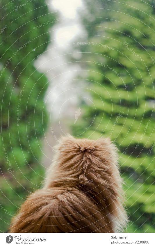 Fensterguggen Katze grün Baum ruhig Tier Fenster sitzen beobachten Fell Aussicht Interesse Haustier rotbraun Katzenkopf Perserkatze