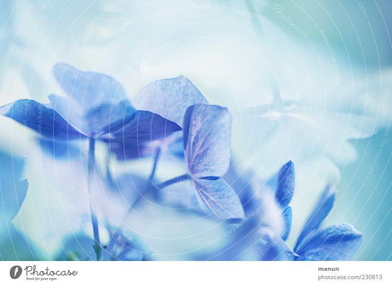 Blütenzauber Natur blau schön Pflanze Blume Stil elegant ästhetisch außergewöhnlich Coolness Kitsch fantastisch türkis Blütenblatt abstrakt