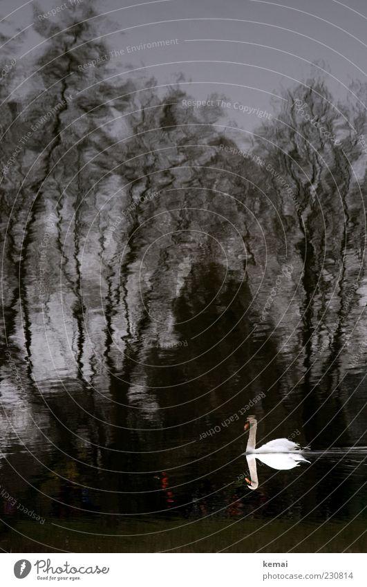 KAmiKAze - Schwan Umwelt Natur Tier Wasser Baum Teich See Wildtier 1 schwarz weiß Farbfoto Außenaufnahme Tag Dämmerung Licht Schatten Kontrast