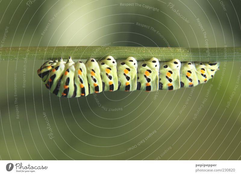 down under Natur grün Pflanze Tier Tiergesicht dick Stengel hängen Fressen Halt Makroaufnahme Raupe mehrfarbig