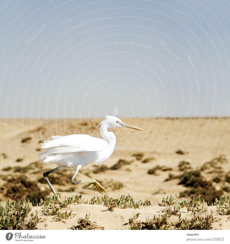 Roadrunner Himmel Natur weiß Tier Sand Vogel braun Geschwindigkeit Politische Bewegungen Wüste rennen Schnabel Blauer Himmel Steppe Federvieh Reiher