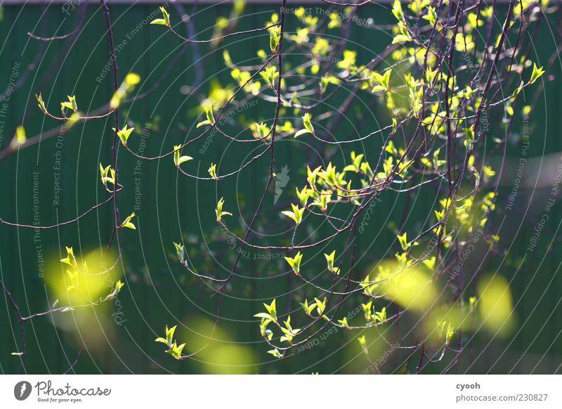 es grünt... Natur Pflanze Frühling Baum Blatt Wachstum neu gelb Stimmung Blattknospe Vorfreude Neuanfang mehrfarbig Nahaufnahme Licht Sonnenlicht Gegenlicht