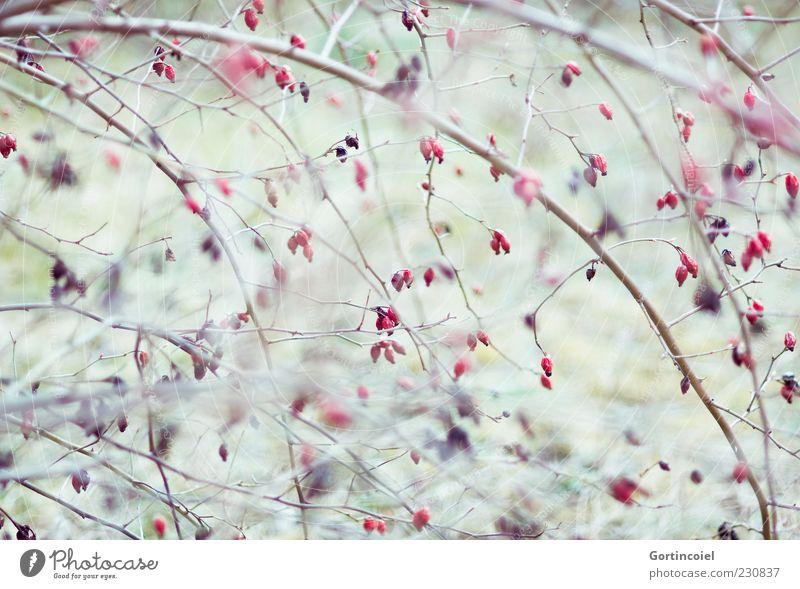 Hagebutten Umwelt Natur Herbst Pflanze Sträucher rot herbstlich Frucht Farbfoto Außenaufnahme Schwache Tiefenschärfe Menschenleer Zweige u. Äste Hundsrose