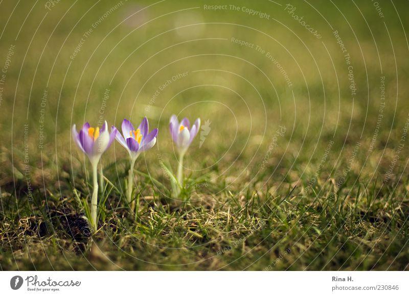 In Reih und Glied Natur Pflanze Frühling Schönes Wetter Krokusse Garten Wiese Blühend grün violett Frühlingsgefühle aufgereiht Farbfoto Außenaufnahme