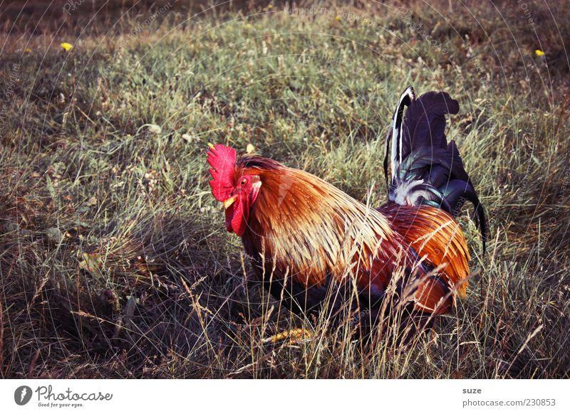 Goggle Sommer Natur Tier Gras Wiese Nutztier 1 authentisch frei schön natürlich rot Hahn Bauernhof Landleben freilaufend freilebend Feder Gackern Federvieh