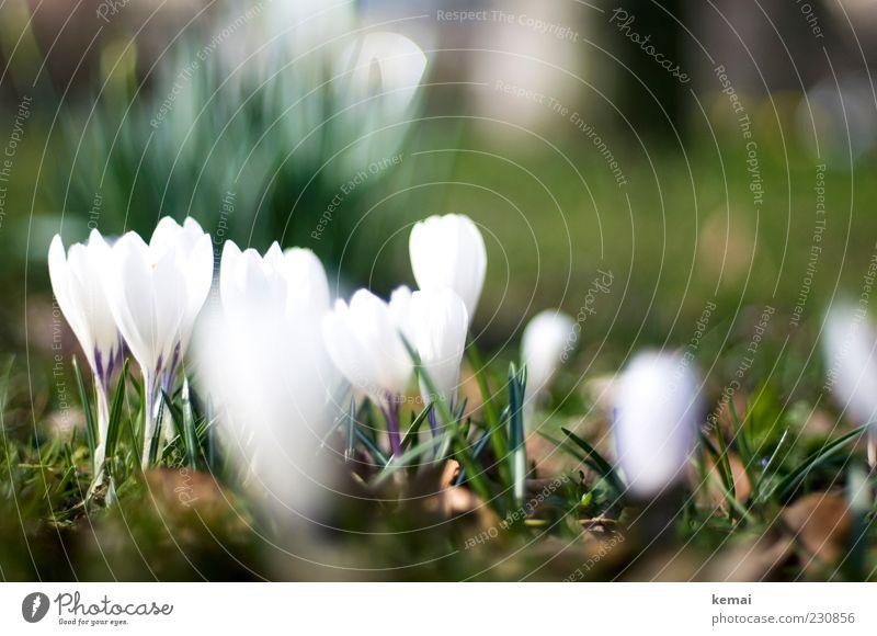 KAmiKAze - Krokusse Umwelt Natur Pflanze Sonnenlicht Frühling Schönes Wetter Blume Blüte Grünpflanze Garten Wiese Blühend Wachstum hell schön grün weiß
