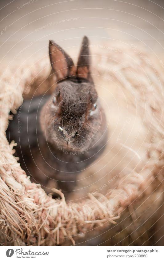 Ostern? Tier Haustier Tiergesicht Fell 1 niedlich braun Hase & Kaninchen Osterhase Gedeckte Farben Außenaufnahme Detailaufnahme Textfreiraum rechts