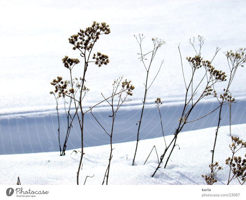 Rebellion gegen den Winter kalt ruhig widersetzen Pflanze Schnee Sonne Schönes Wetter dünn