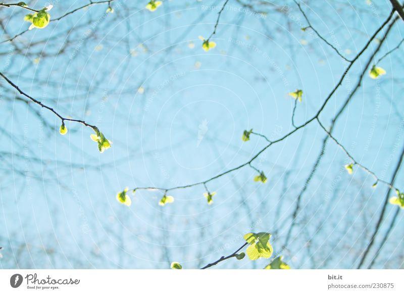 Leuchtblätter Umwelt Natur Pflanze Himmel Wolkenloser Himmel Frühling Sommer Klima Schönes Wetter Blatt Park Blühend frisch blau grün Frühlingsgefühle