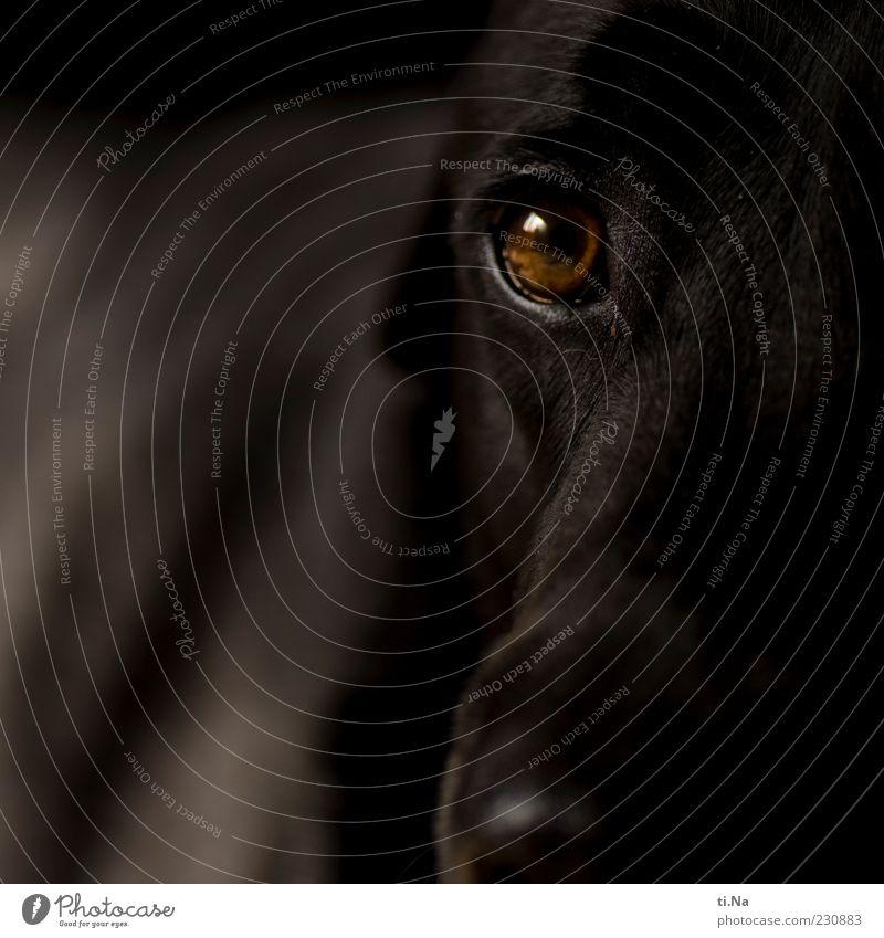 der immerhungrige Blick Hund schwarz Tier braun Tiergesicht Fell Freundlichkeit Vertrauen Haustier Treue Anschnitt Labrador Tierliebe Landraubtier Hundeblick