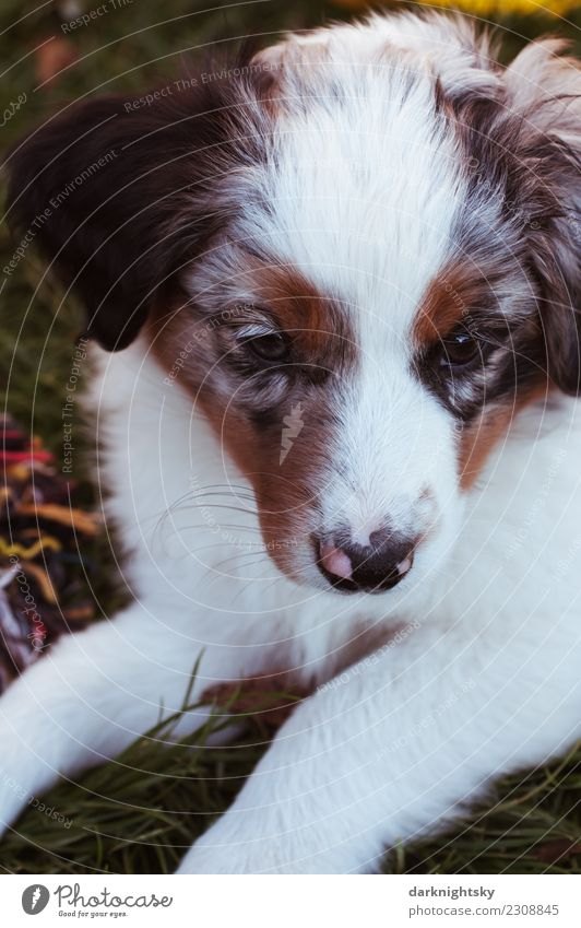 Tierportrait Australian Shepherd Aussie Welpe Hund schön weiß rot ruhig schwarz außergewöhnlich retro elegant ästhetisch niedlich Romantik Neugier weich