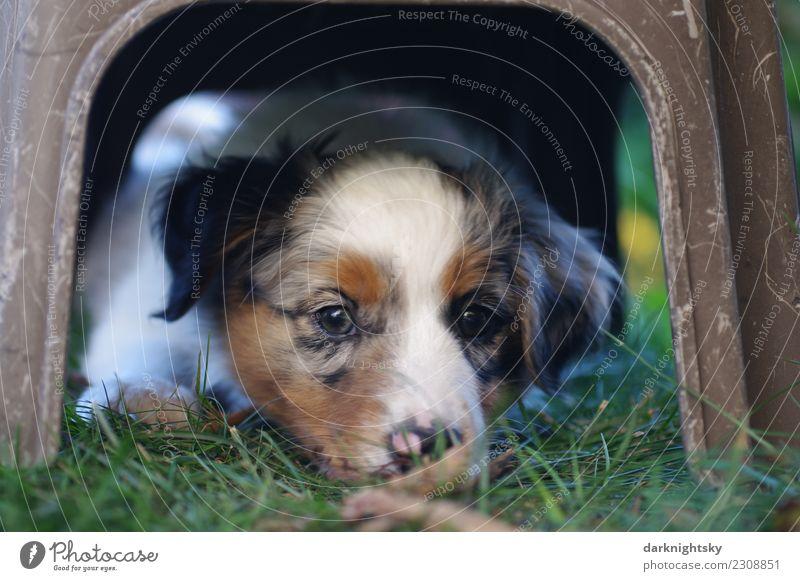 Junger Australian Shepherd Welpe Lifestyle Freude Haare & Frisuren Gesicht Hundesport Sommer Garten Haustier 1 Tier beobachten genießen liegen schlafen warten
