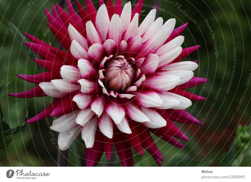 Dahlie Dahlien schön Blüte Blühend Blume Botanik Blumenstrauß mehrfarbig dalia Dekoration & Verzierung Pflanze frisch Garten Gartenarbeit Kugel Top Blütenblatt