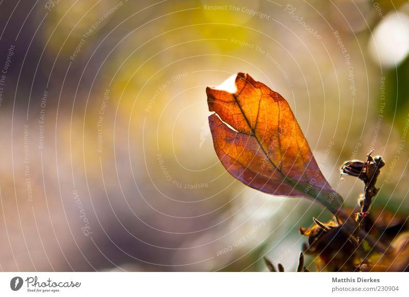Frühlingsblatt Umwelt Natur Pflanze Blatt ästhetisch außergewöhnlich schön braun gelb gold Farbfoto mehrfarbig Außenaufnahme Nahaufnahme Menschenleer
