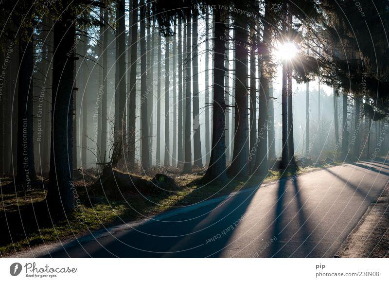 waldrand Umwelt Natur Sonne Sonnenlicht Klima Schönes Wetter Nebel Baum Nadelwald Fichte Tanne Baumstamm Wald Straße Wege & Pfade dunkel hell Schatten Asphalt