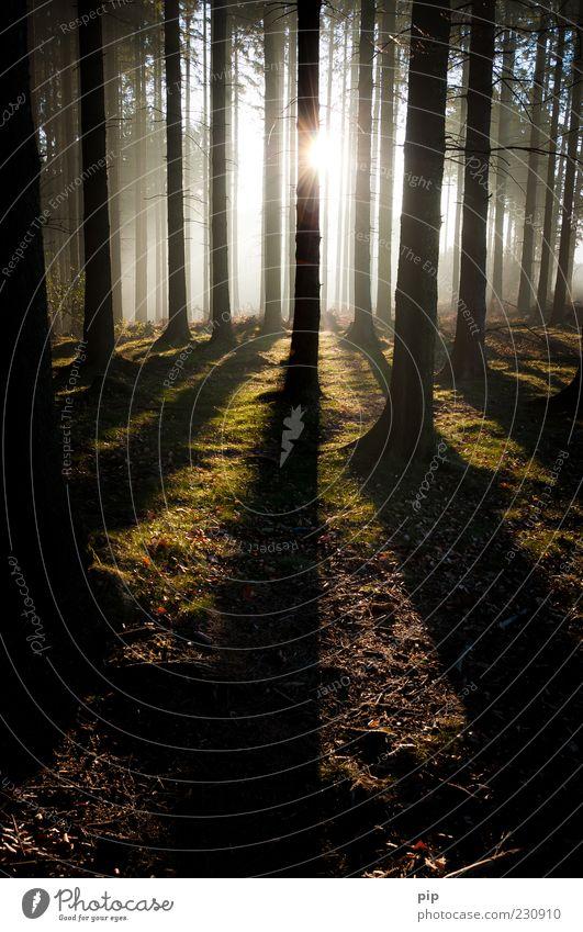 morgens im wald Natur Baum Sonne Wald Umwelt dunkel hell Nebel Klima Schönes Wetter Tanne Baumstamm Moos Fichte Nadelwald Silhouette