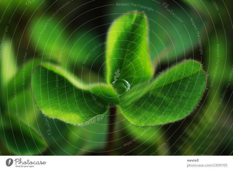 Kleeblatt mit Tautropfen Sommer Umwelt Natur Pflanze Frühling Gras Blatt Grünpflanze Nutzpflanze Garten Wiese grün Gefühle Freude Glück Lebensfreude Optimismus