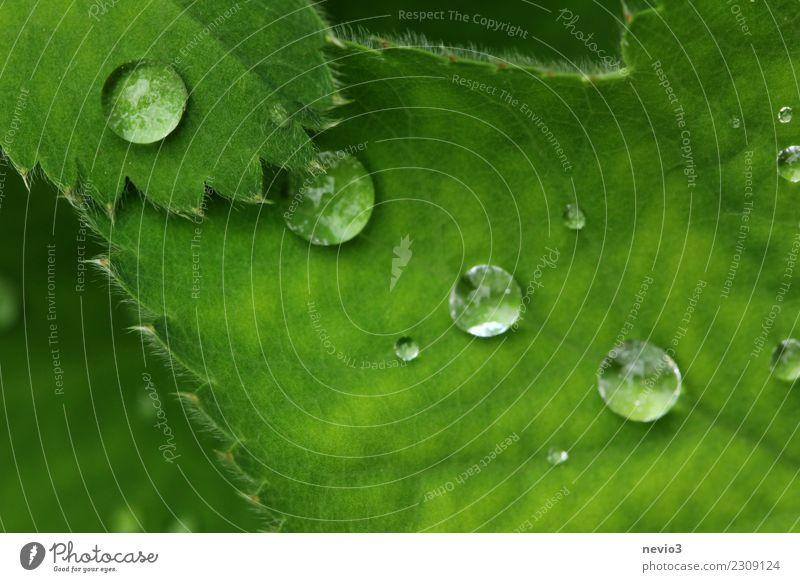 Grün Sommer Umwelt Natur Pflanze Wasser Wassertropfen Gras Blatt Grünpflanze Wildpflanze Garten Park Wiese rund grün Gefühle Ausgewogenheit Perle Perlenkette