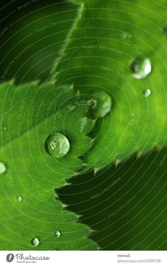 Regentropfen auf grünen Blättern Sommer Natur Pflanze Gras Blatt Grünpflanze Wildpflanze Topfpflanze Garten Park Wiese Wassertropfen Tau Wetter winken Hand nass