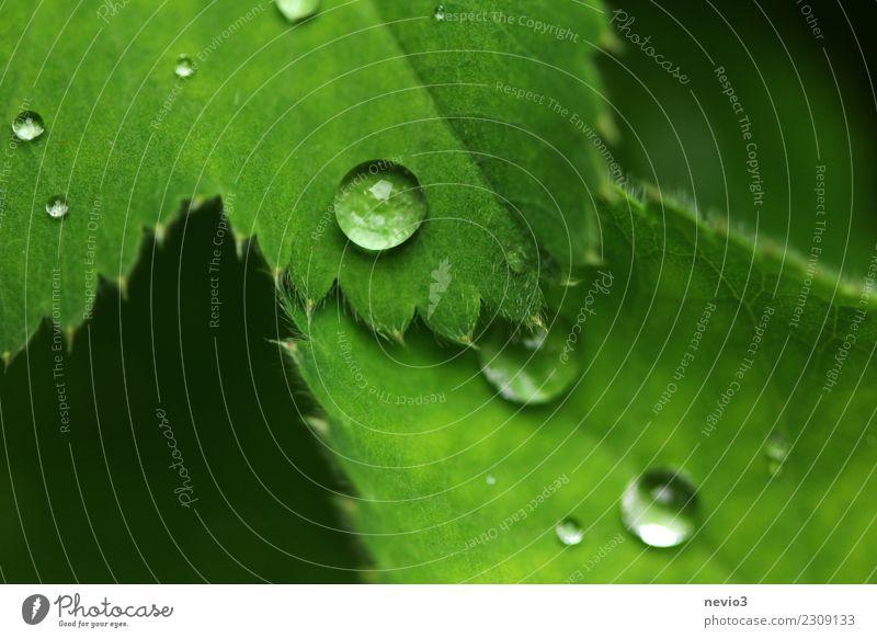Wasserperlen Sommer Umwelt Natur Pflanze Frühling Gras Blatt Grünpflanze Nutzpflanze Garten Park Wiese grün blättern Regen Wassertropfen Tropfen Tau weich