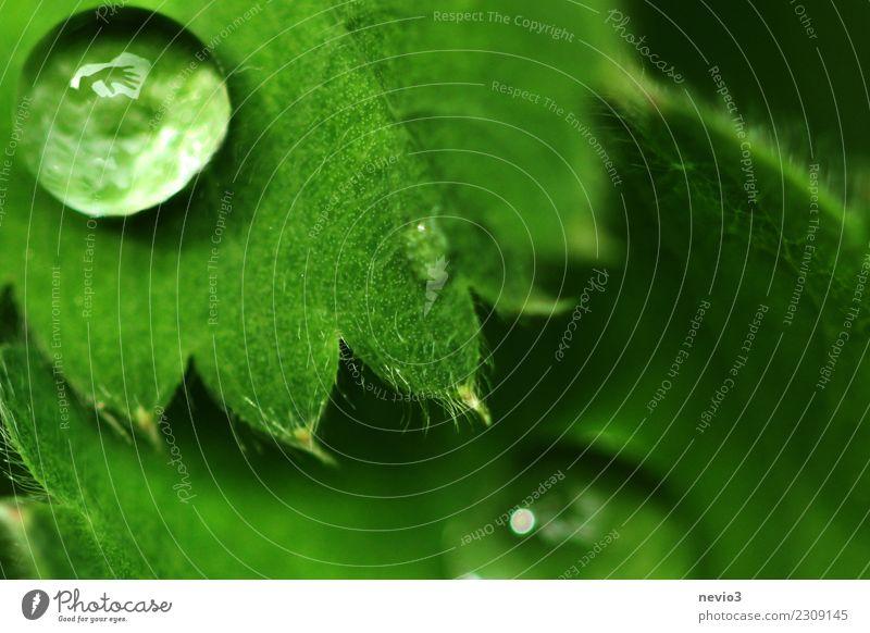 Winkende Hand in einem Wassertropfen Sommer Umwelt Natur Pflanze Frühling Gras Blatt Grünpflanze Nutzpflanze Garten Park Wiese rund grün nass feucht Regen
