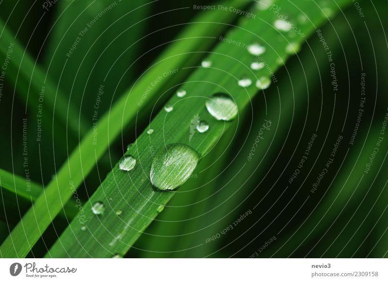 Regentropfenrutsche Sommer Umwelt Natur Pflanze Frühling Gras Blatt Grünpflanze Nutzpflanze Garten Wiese rund grün schön Rutsche Wassertropfen Tau Tropfen Perle