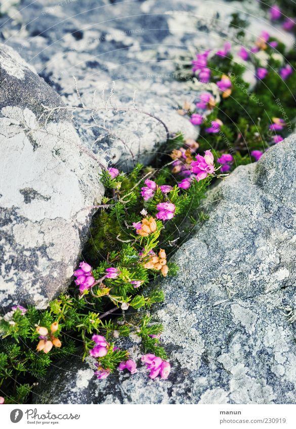 Steinbruch Natur Pflanze Sträucher Wildpflanze Heidekrautgewächse Bergheide Ginster Naturwuchs steinig authentisch einfach schön natürlich Farbfoto