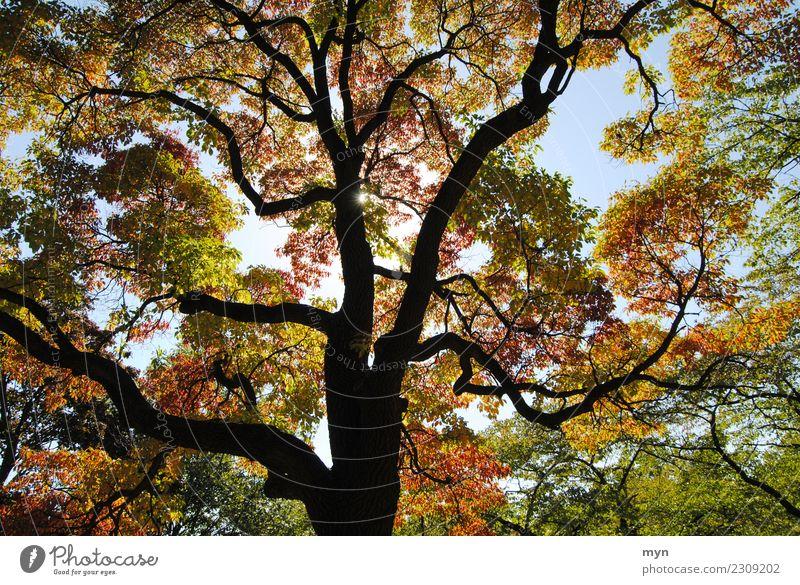 Kanadischer Herbst II Umwelt Natur Pflanze Sonne Sonnenlicht Baum Blatt Grünpflanze Park Wald Urwald Holz leuchten ästhetisch Vergänglichkeit mehrfarbig