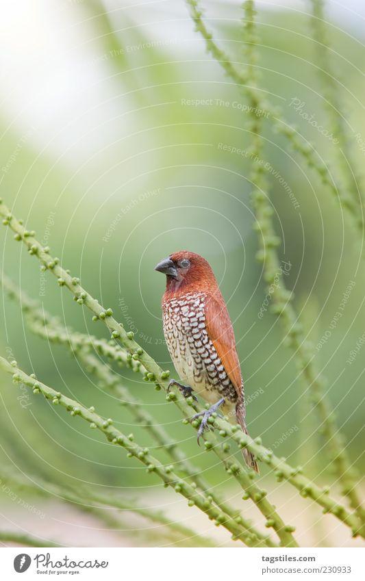 HALT STILL ... JA, SO GEHT'S grün orange braun Vogel sitzen Feder Afrika Zweig exotisch Tier freilebend Unschärfe selten Mauritius Kanarienvogel