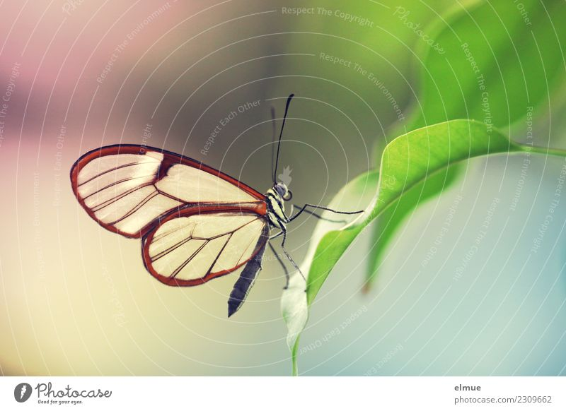 Glasflügler schön Farbe Erholung Blatt klein Glück Design träumen ästhetisch Beginn Lebensfreude Energie Flügel Romantik Inspiration Schmetterling