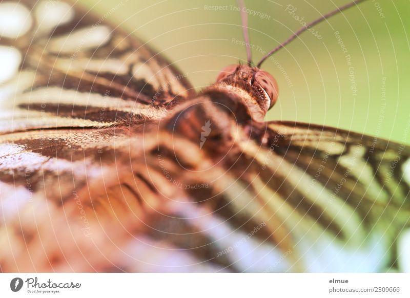 entfaltet (3) Tier Frühling Tropenhaus Tropischer Garten Schmetterling Flügel Fühler Facettenauge Muster elegant schön einzigartig klein Glück Fröhlichkeit