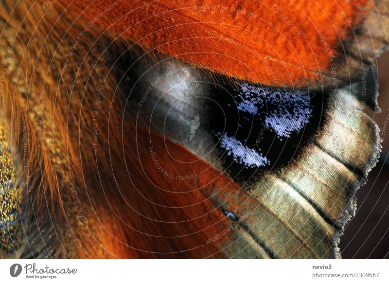 Flügelschlag Tier Wildtier Schmetterling Schuppen 1 schön Gefühle Glück Lebensfreude Frühlingsgefühle Tagpfauenauge Schmetterlingsflügel fein Makroaufnahme