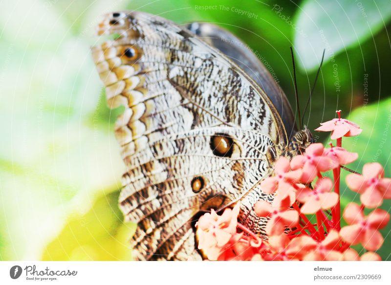 alles Banane Tier Frühling Blüte Schmetterling Flügel Bananenfalter Schmetterlingshaus Tropenhaus Augenfalter elegant Glück einzigartig nah Lebensfreude