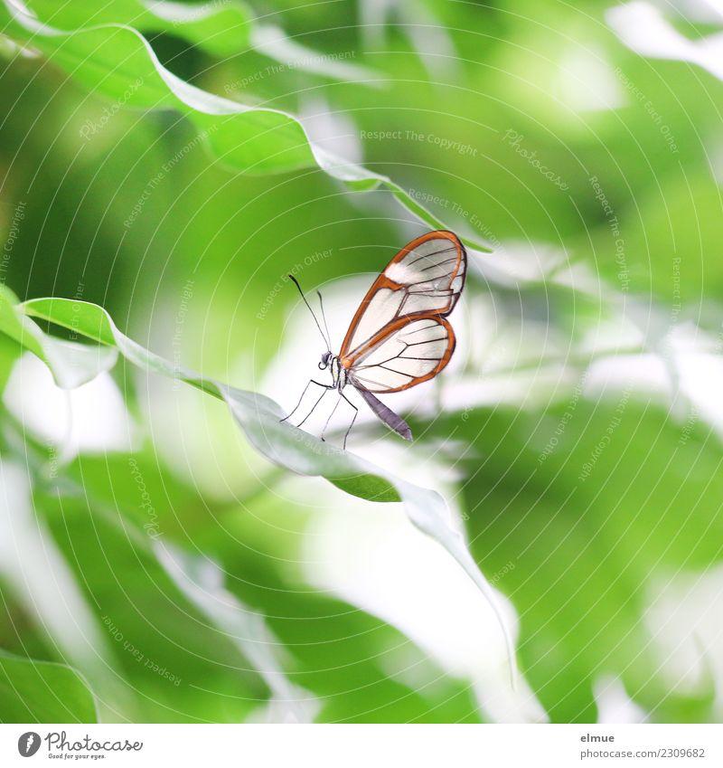 Glasflügler Blatt Schmetterling Flügel Waldgeist Greta morgane Edelfalter Fühler Tropenhaus Schmetterlingshaus elegant klein grün orange Lebensfreude