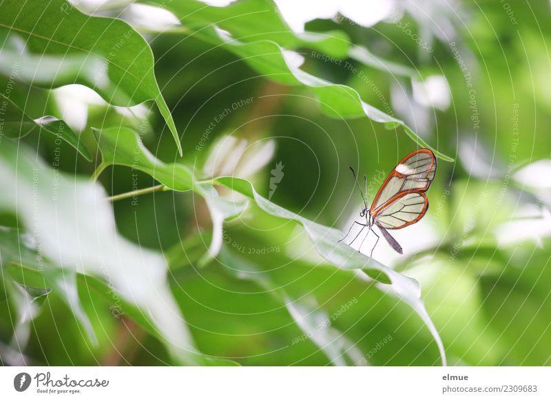 zart beflügelt Frühling Blatt Grünpflanze Schmetterling Glasflügler Tropenhaus Schmetterlingshaus elegant hell schön einzigartig klein niedlich grün orange