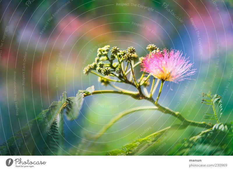 Mimose Natur schön Baum Pflanze Sommer Blatt Blüte hell rosa authentisch Kitsch Stengel exotisch Blütenknospen Sonnenlicht