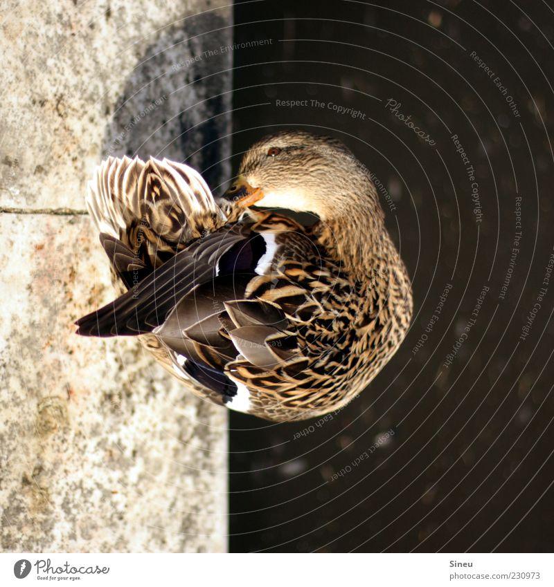 Ganz schön schräg. Wasser Park Felsen Teich Stein Tier Wildtier Ente 1 Reinlichkeit Sauberkeit Reinheit Genauigkeit Körperpflege Feder Reinigen Farbfoto
