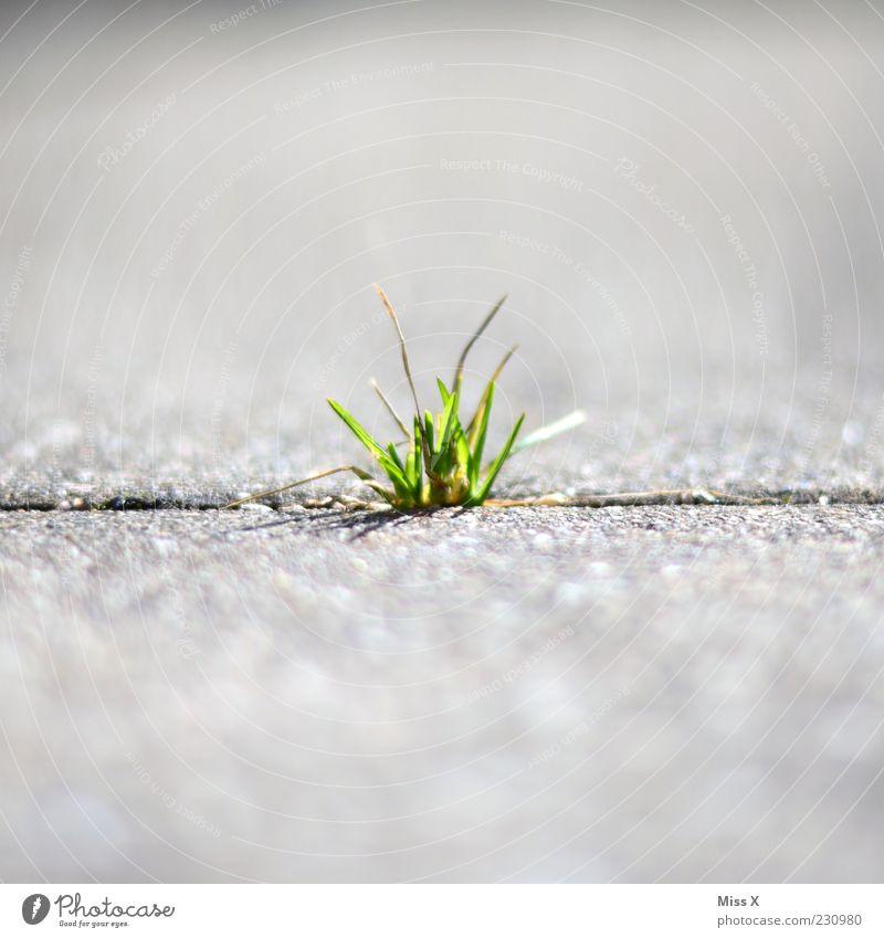 Büschel Natur Pflanze Sommer Straße Gras Wege & Pfade Frühling Kraft Wachstum Boden Halm Fuge Furche Trieb Stein Umwelt